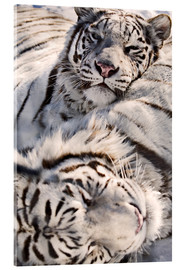 Acrylic glass  White Bengal Tiger - Chad Coombs