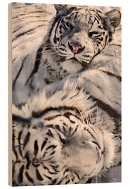 Wood print  White Bengal Tiger - Chad Coombs