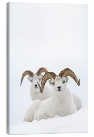 Canvas print  Two sheep in the snow - Milo Burcham