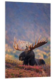 Foam board print  Moose bull in a pasture - Milo Burcham