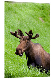 Acrylic print  Bull Moose in the Grass - John Delapp