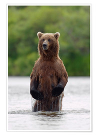 Premium poster Brown bear in Katmai National Park