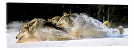 Acrylic print  A pack of grey wolves in deep snow - John Hyde