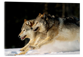 Acrylic glass  Pack Of Grey Wolves Running Through Deep Snow - John Hyde