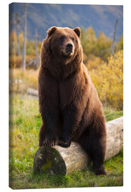 Canvas print  Relaxed brown bear - Doug Lindstrand