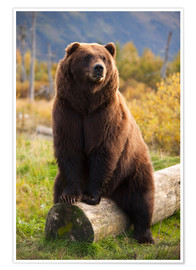 Premium poster  Relaxed brown bear - Doug Lindstrand