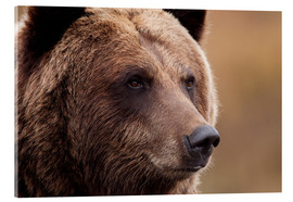 Acrylic print  Portrait of Grizzly Bear - Doug Lindstrand