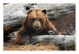Premium poster Brown bear in Alaska