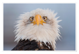 Premium poster Young Bald Eagle