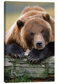 Canvas  Resting brown bear - Doug Lindstrand