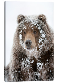 Canvas print  Frosty Bear - Doug Lindstrand