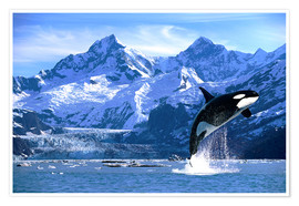 Premium poster  Orca in front of a glacier - John Hyde
