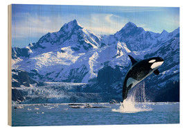 Wood print  Orca in front of a glacier - John Hyde