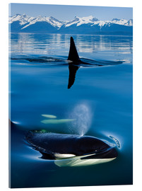 Acrylic print  Whales in front of the Range Mountains - John Hyde