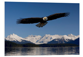 Foam board print  Bald Eagle in Tongase National Forest - John Hyde