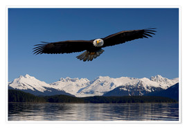 Premium poster  Bald Eagle in Tongase National Forest - John Hyde