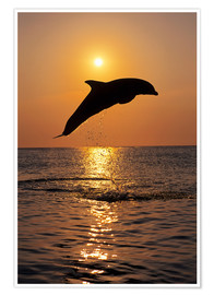 Premium poster  Dolphin in the sunset - Tom Soucek