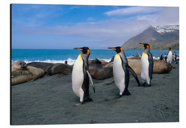 Alu-Dibond  King Penguins on South Georgia Iceland - Tom Soucek