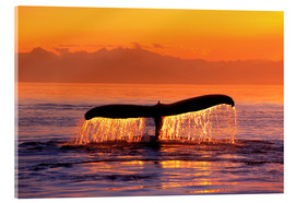 Acrylic print  Humpback whale in the evening - John Hyde