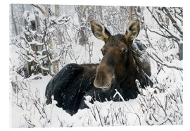 Acrylic print  Cow elk in a winter forest - Philippe Henry