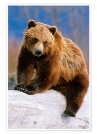 Premium poster Brown Bear on a trunk