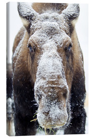 Canvas print  Snowy Elk - Mark Newman