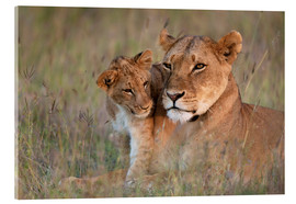 Acrylic print  Lioness with cub - Ian Cuming