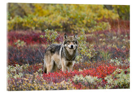 Acrylic glass  Gray Wolf in the tundra - Gary Schultz