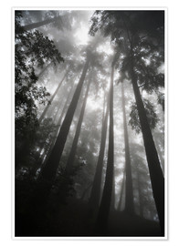 Poster  Treetops in fog - Paul Quayle