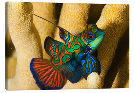 Canvas print  Mandarin fish - Dave Fleetham