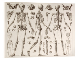 Acrylic print  Skeleton Of A Fully Grown Human - Wunderkammer Collection