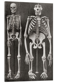 Acrylic print  Skeletons Of Man and Gorilla - Ken Welsh