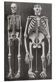 Alu-Dibond  Skeletons Of Man and Gorilla - Ken Welsh