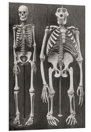 Foam board print  Skeletons Of Man and Gorilla - Ken Welsh