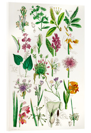 Acrylic print  Wild Flowers - Sowerby Collection