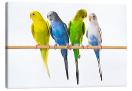 Canvas print  Budgies on a perch - Corey Hochachka