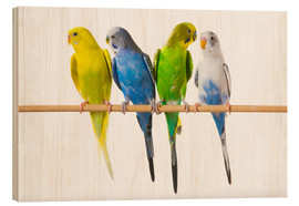 Wood print  Budgies on a perch - Corey Hochachka