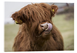 Acrylic print  Highland Cattle Licking It's Lips - John Short