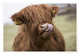 Premium poster  Highland Cattle Licking It's Lips - John Short
