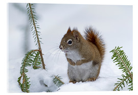 Acrylic glass  Red squirrel - Philippe Henry
