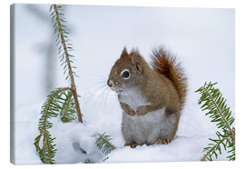 Canvas print  Red squirrel - Philippe Henry