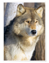 Poster  Timber Wolf - John Pitcher