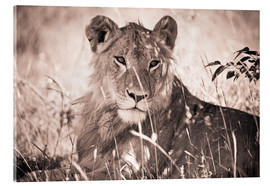 Acrylic glass  Lioness between grasses - David DuChemin