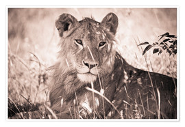 Premium poster  Lioness between grasses - David DuChemin