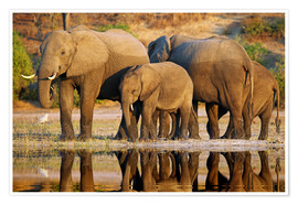 Poster Elephants at a river, Africa wildlife