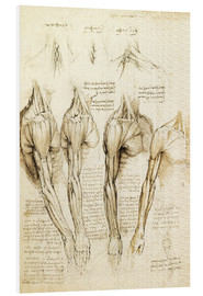 Foam board print  Muscles of shoulder, arm and neck - Leonardo da Vinci