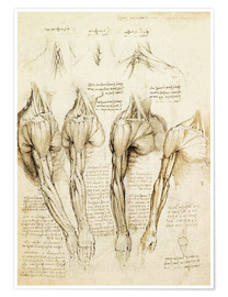 Poster  Muscles of shoulder, arm and neck - Leonardo da Vinci
