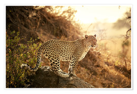 Premium poster  female Leopard at sunset - Jürgen Ritterbach