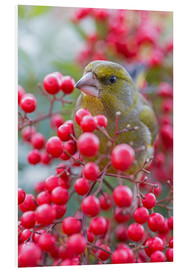 Foam board print  Greenfinch - Thomas Herzog