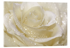 Acrylic print  White rose with drops - Atteloi